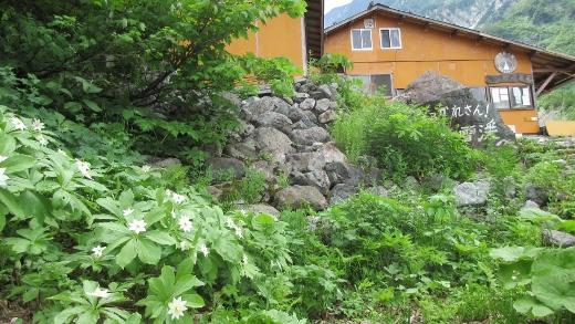 白馬尻小屋の近くに群生しているニヌガサソウ