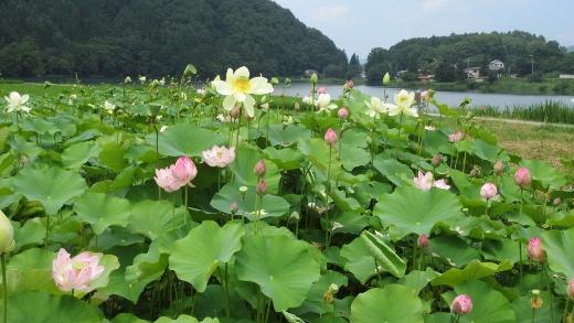 7_31中綱湖近くに咲く蓮の花きれいです