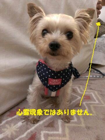 小梅 ハーネス2
