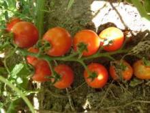 改トマト2015