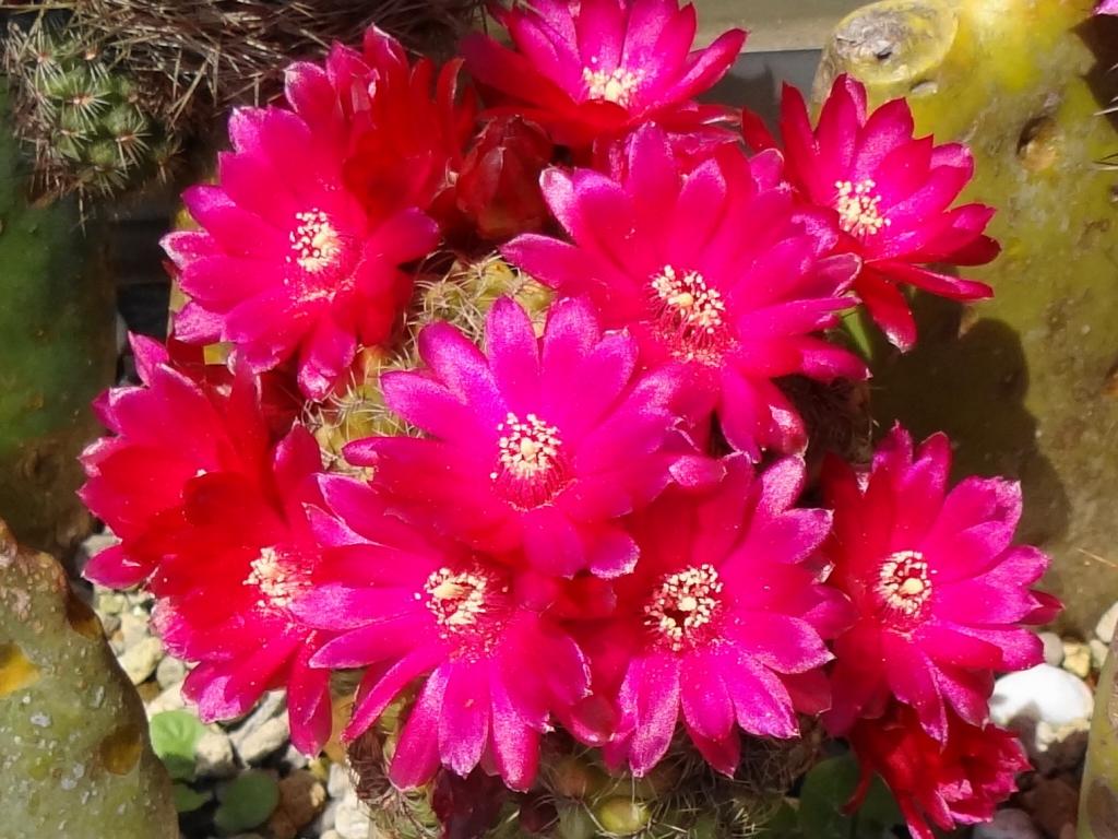 露地植赤花団扇接