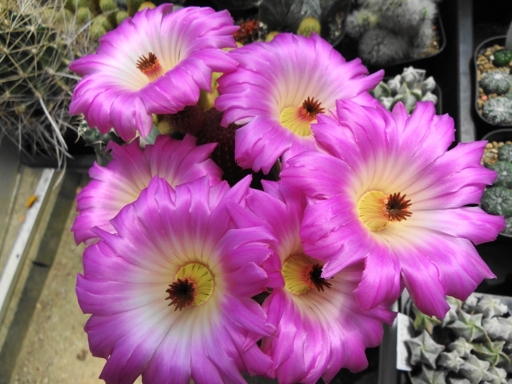 紫太陽の開花
