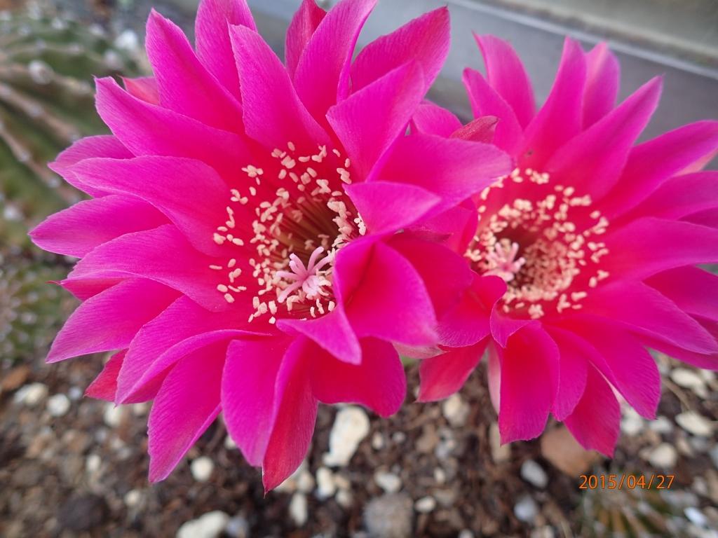 35プシス赤花