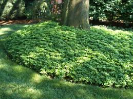 ground cover2