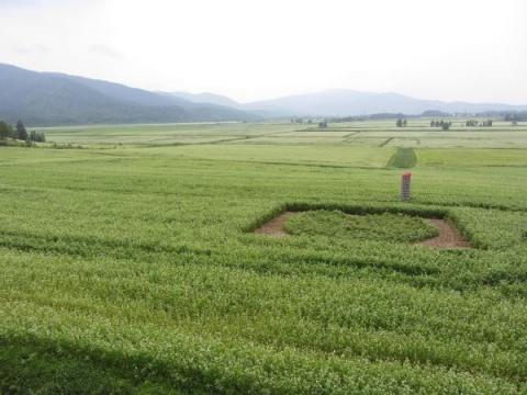 政和のそば畑