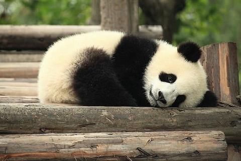 panda_cute.jpg