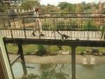渡り廊下を歩くワオキツネザル