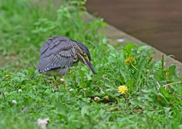 ササゴイ幼鳥6 -133