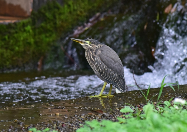ササゴイ幼鳥5 -163