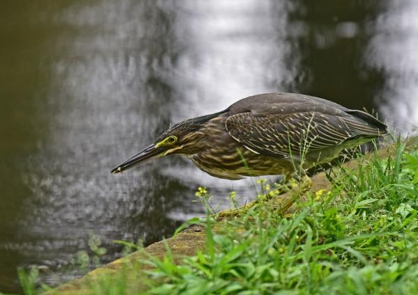 ササゴイ幼鳥8 -105