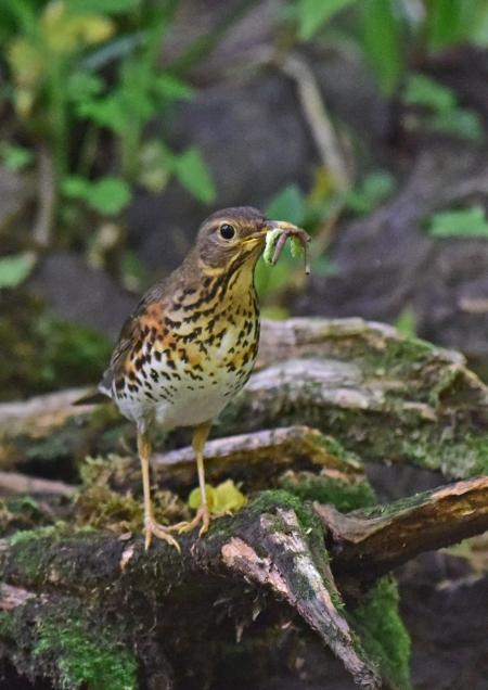 クロツグミ雌4 -044