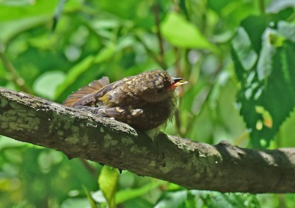キビタキ幼鳥5 -037
