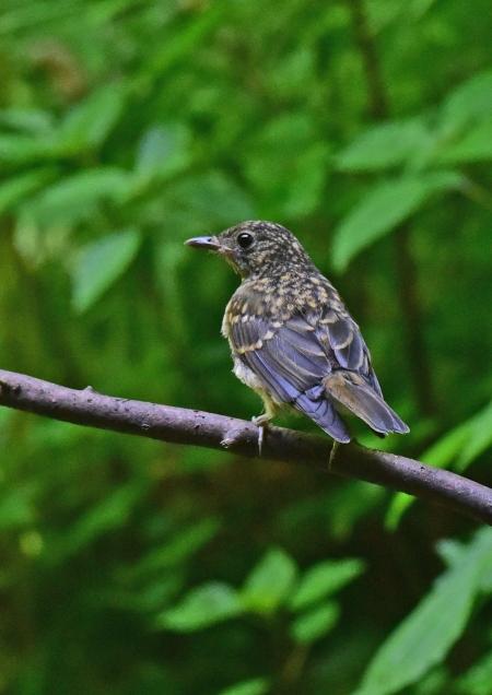 キビタキ幼鳥1 -053