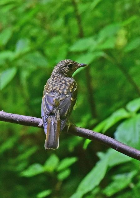 キビタキ幼鳥3 -054
