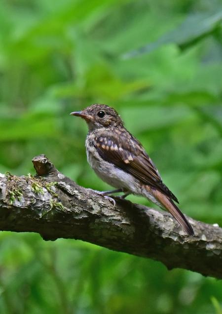 キビタキ幼鳥4 -014