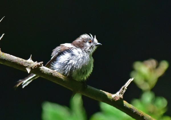 エナガ幼鳥1 -120