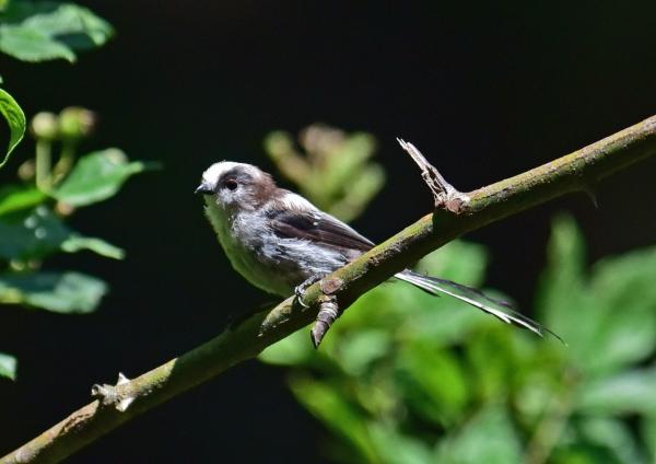 エナガ幼鳥2 -069