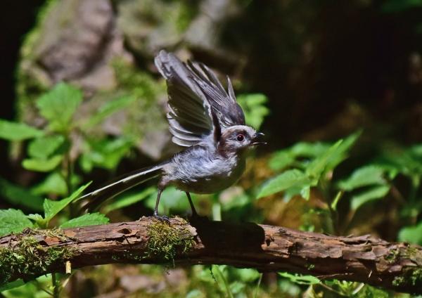 エナガ幼鳥4 -073