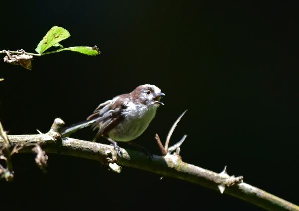 エナガ幼鳥3 129