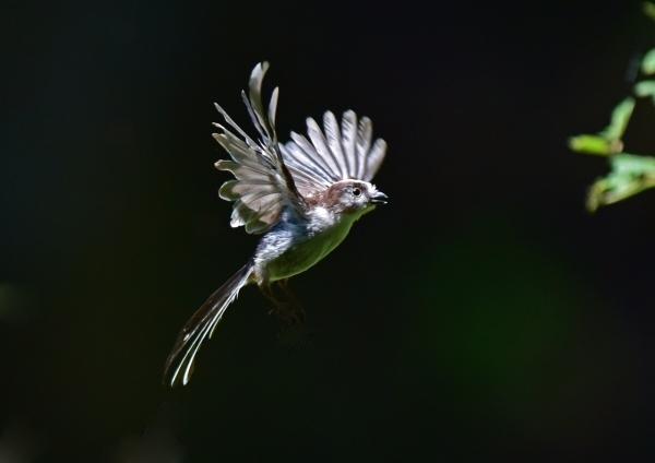 エナガ幼鳥5 -130