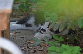 2015726白黒ネコ