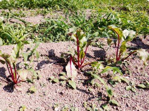 アスパラ種蒔き2