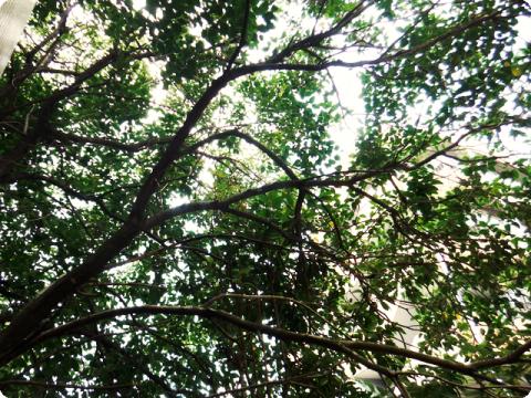 クマゼミの木
