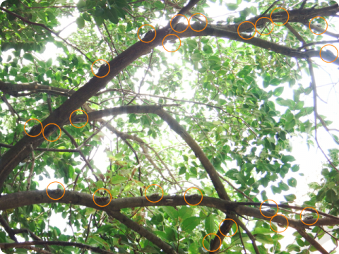 クマゼミの木2