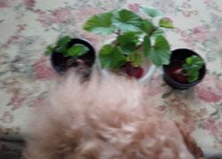 プランターに植えてみました 芋