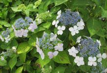 雨の季節の花見 ガクアジサイ