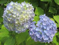 雨の季節の花見 紫陽花