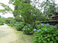 雨の季節の花見6