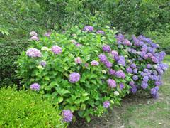 雨の季節の花見 紫陽花2