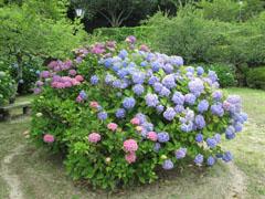 雨の季節の花見 紫陽花3