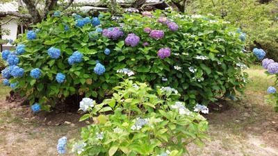 雨の季節の花見 紫陽花1