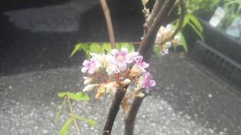 スターフツーツの花②b