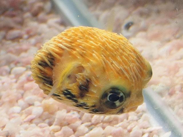 ハリセンボン稚魚