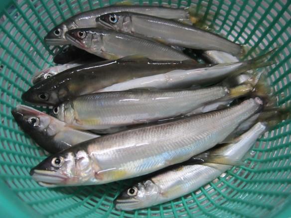 27.6.12鮎の餌釣り 012_ks