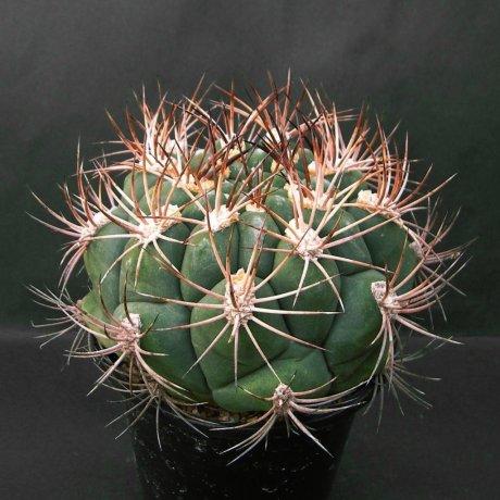 Sany0110--saglionis fa albispinum--Piltz seed 3812