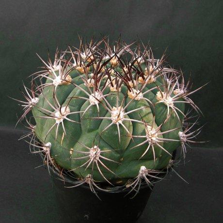 Sany0112--saglionis fa longispinum--Piltz seed 3813