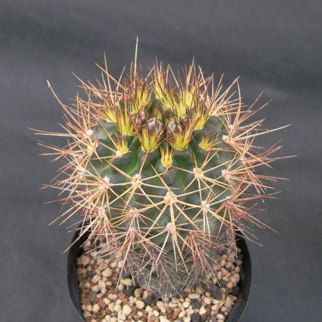 Sany0227--neuhuberi--Succseed seed 366