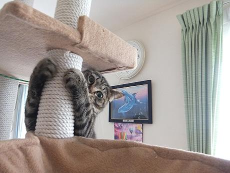 猫タワーが大好き。ちょっとお猿さんみたい(笑)