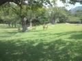 金華山の鹿3