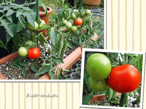 トマトが赤くなってきた (⌒ ⌒)