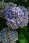 色が微妙な紫陽花