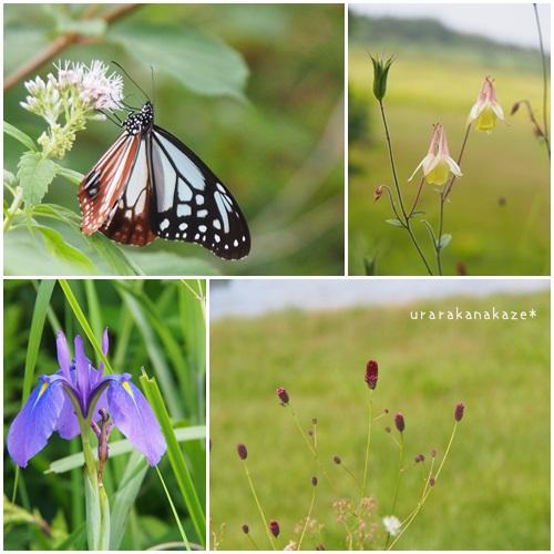 八島ヶ原湿原 ヨツバヒヨドリの花とアサギマダラ(蝶) キバナノヤマオダマキ ノハナショウブ ワレモコウ