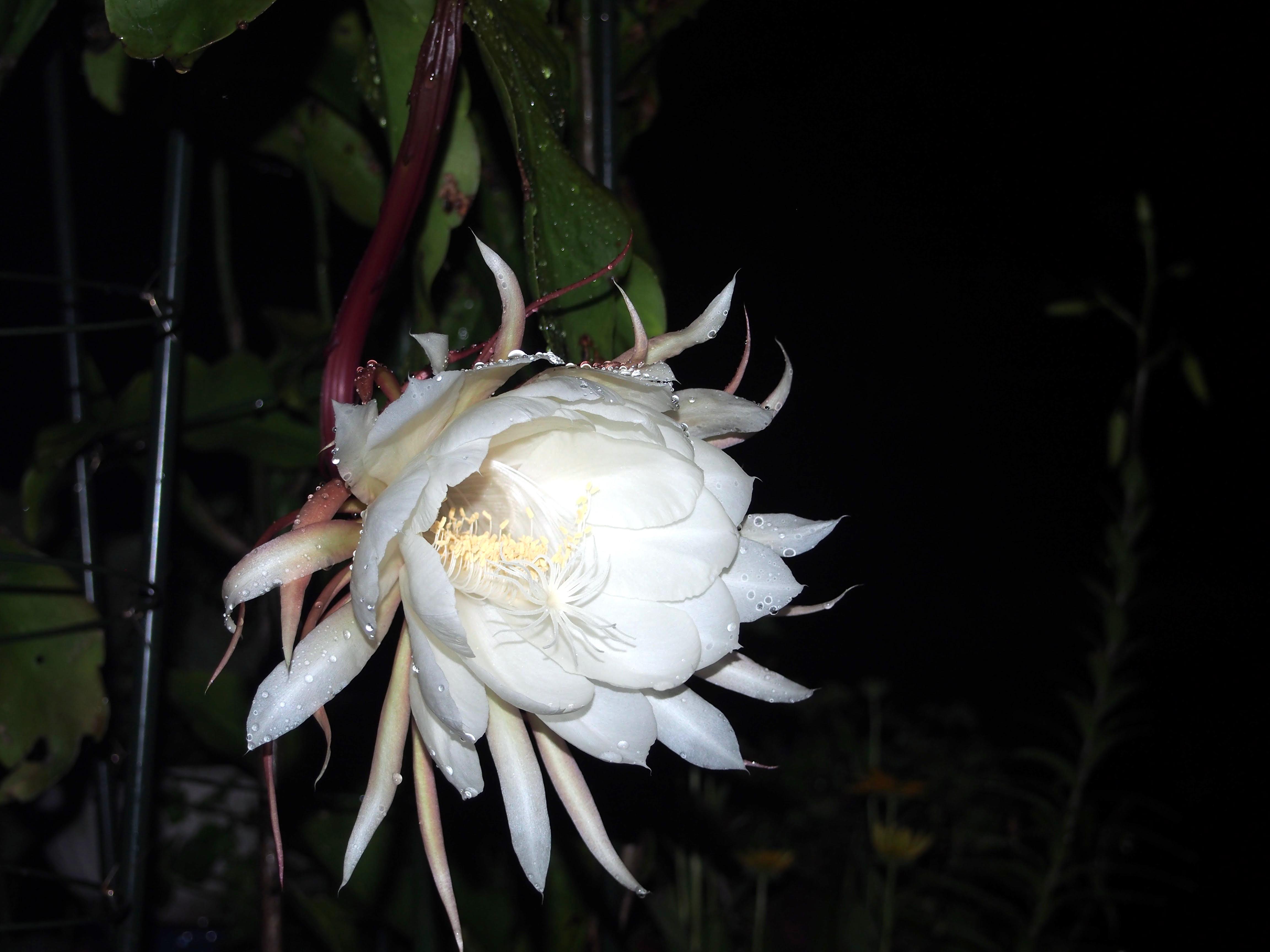 20150708-01_EpiphyllumOxpetalum-X03.jpg