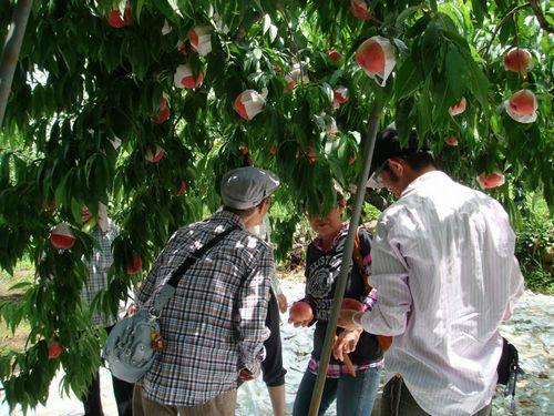 桃狩りおすすめシーズンはいつ?空いている時期は?山梨県笛吹市御坂町観光農園