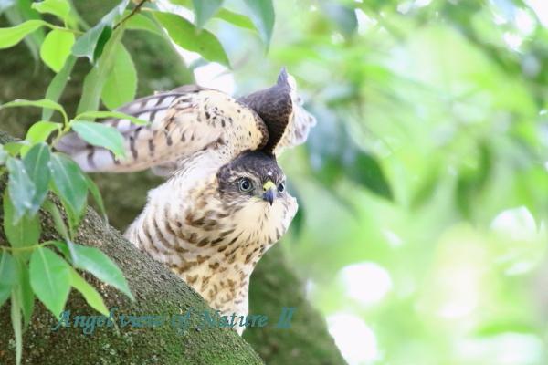 ツミ幼鳥(201506258368)