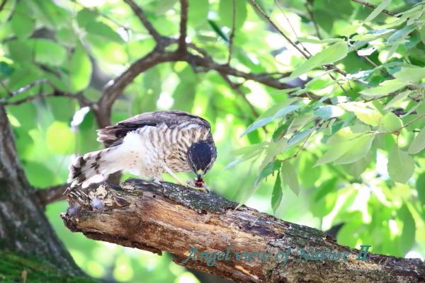 ツミ幼鳥(201506247851)